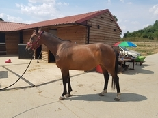 9yo Broodmare/Project 16hh