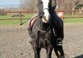 Super weight carrying 14: 1hh, 6 yr old, Irish Cob