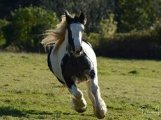 Traditional Gypsy Cob Mare