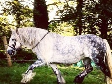 14.2hh Dapple grey cob mare