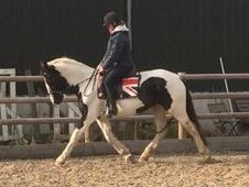 Really special 15. 2HH rising 5yr old mare