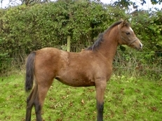ANGLO-ARAB FILLY FOAL