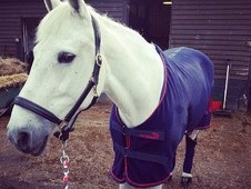SHARER WANTED 15hh grey mare
