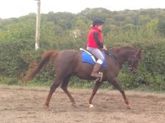 endurance prospect - anglo arab mare