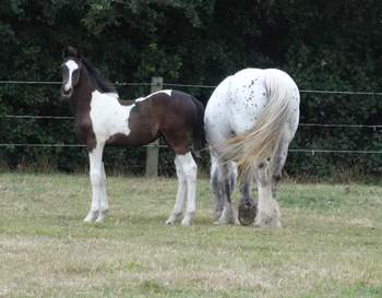 American Saddlebred x Appaloosa filly foal