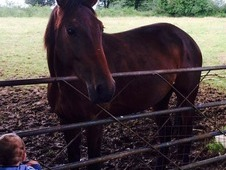 5 year old bay mare
