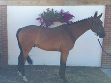 very smart, 8 year old bay gelding!