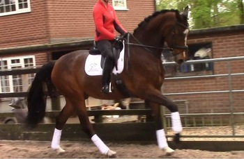 Premier graded 4 year old Holsteiner gelding. Top Grand Prix Show Jumping/Dressage lines
