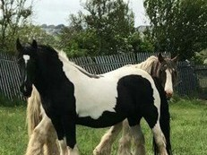 Huge black and white mare