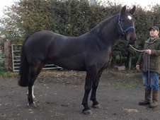 Stunning weight carrying maxi cob / ideal hunter