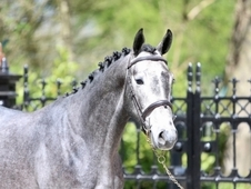 Elegant 16hh Grey Warmblood Stallion