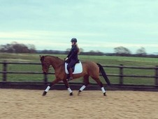 Stunning 15. 2hh Selle Francais X Mare