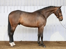 Handsome 16. 1hh Bay Warmblood Stallion