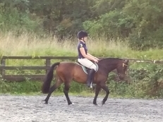 Super Smart Registered Dartmoor Gelding 12h