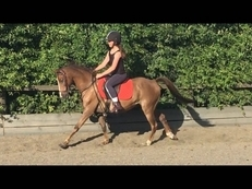 12.2hh . 11 yrs lead rein/first ridden show pony