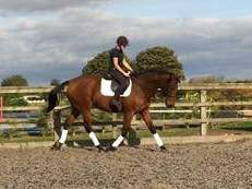 Rare opportunity - quality 17.2hh TB gelding!!!