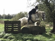 Stunning 15.1HH blue and white gelding