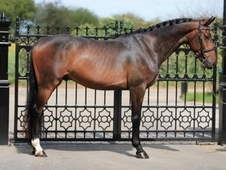 Flashy 16. 1 Bay Warmblood Stallion