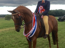 Show/Dressage Pony, Gelding 14. 2 Priced competitively due to new...