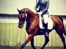 16.2h Oldenburg German Warmblood