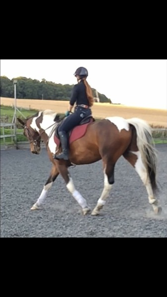 Flashy 6yo coloured gelding