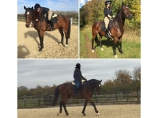 *16.1, 10 YEAR OLD BAY THOROUGHBRED GELDING FOR FULL LOAN*