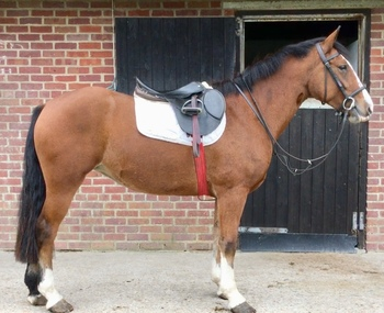 Family Horse for Sale In Dorset