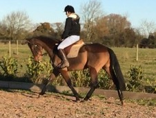 Flashy Irish mare - the perfect young horse
