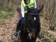 14.2 - 15 hands gelding wanted