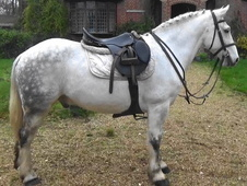 Allrounder Gelding For Sale In Dorset