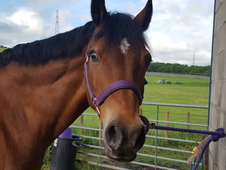 14. 3hh Welsh sec D gelding for sale