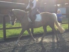15.1hh 10yr old Palomino Irish Mare For Sale