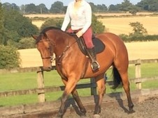 16. 1hh 5year old warmblood