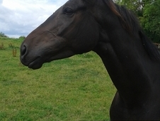 16. 2hh thoroughbred gelding needs a home
