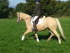 13. 3hh PC / RC / Dressage/ BYRDS