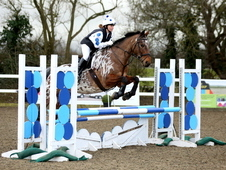 Stunning 16. 1hh Eventer