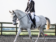 Lipizzaner Mare 16HH - 8 Year old