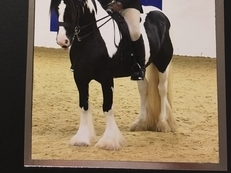 13.2hh traditional cob mare