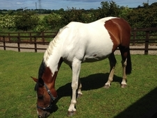 Attractive 15. 3h registered Welsh Cob X Warm Blood 9 year old mare
