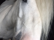13.2hh Blue blagdon Gypsy cob 9 years old
