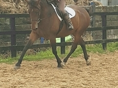 5 year old sports horse