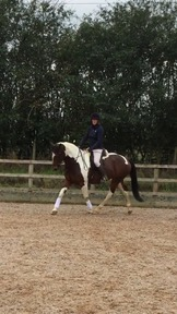 Stunning-16.1- Allrounder-Riding Club horse