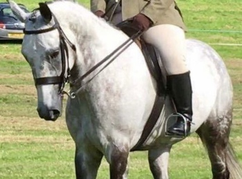 Smart 16.2hh IDxTB Middleweight Hunter / Allrounder