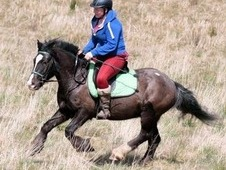 13hh gelding 7 years old