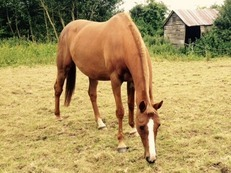10 yr old Chestnut mare 16.2hh