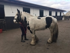 3 year old Piebald mare