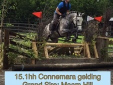Stunning 15. 1hh pure bred Connemara gelding from top bloodlines