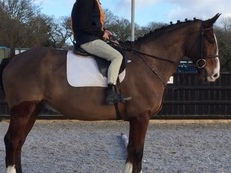 Heavyweight Irish Draught x Gelding, Dorset