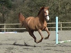 Stunning 4 year old ISH mare