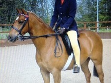 Riding pony/part bred Welsh